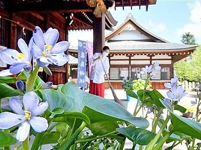 ミズアオイ、ゆかり神社に咲く 福井