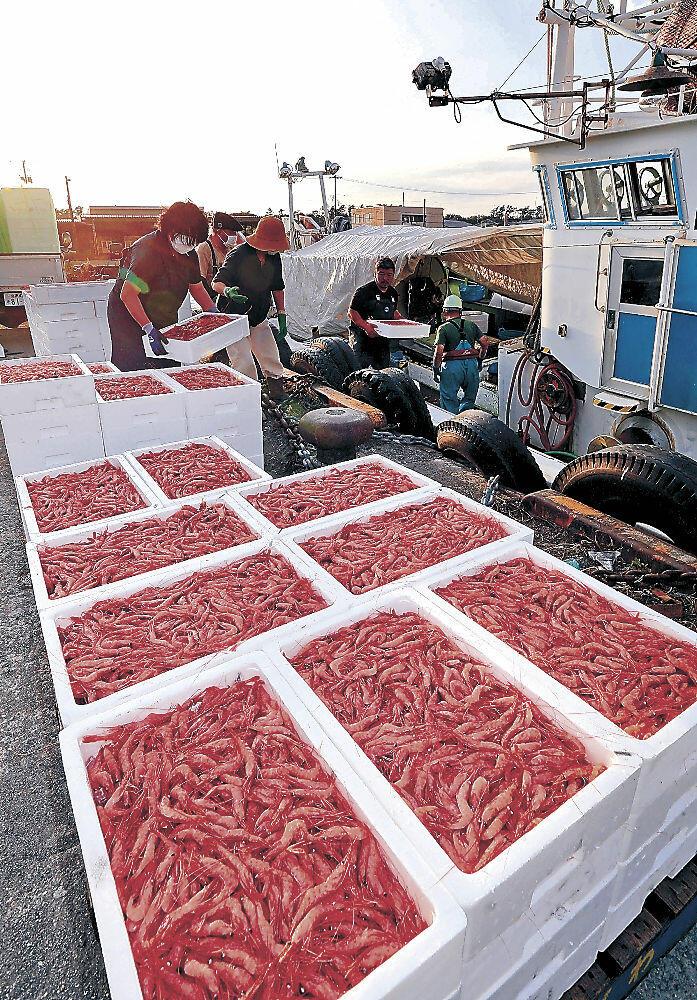底引き網漁が解禁され、水揚げされた甘エビ=2日夕、金沢港