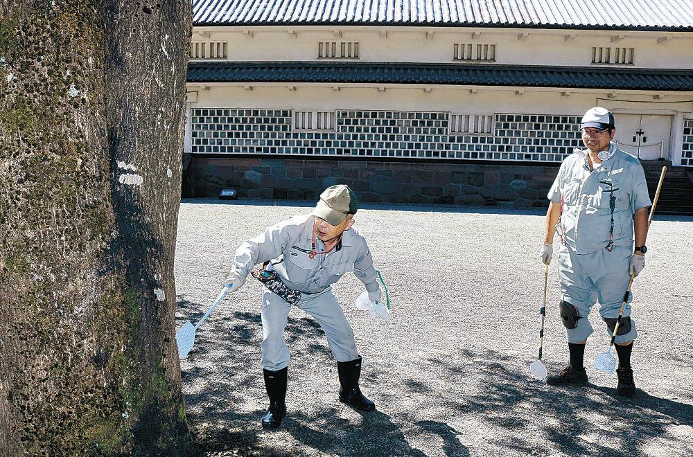 ハエたたきで駆除する管理事務所の職員=金沢城公園