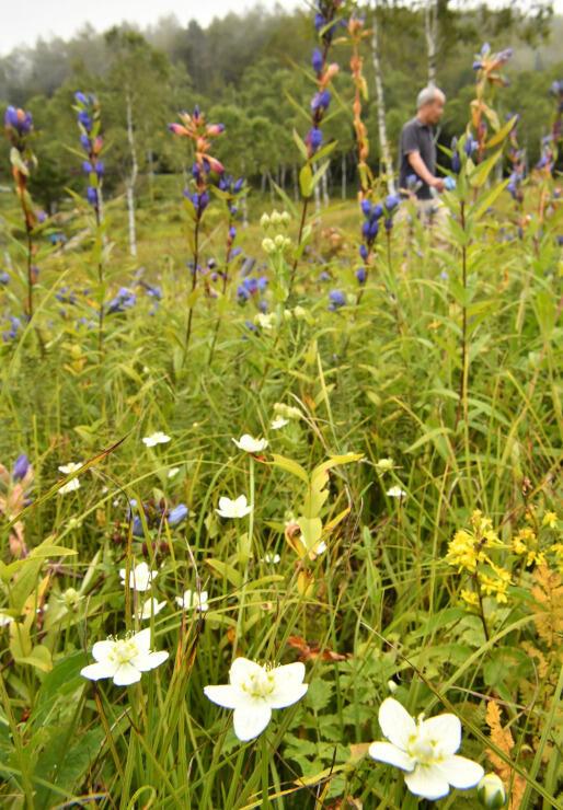 エゾリンドウに交じって咲く白いウメバチソウ=11日、入笠湿原