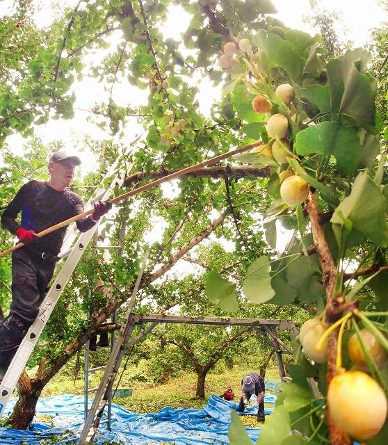 丸々と実り次々と収穫されるギンナン=9月14日、福井県永平寺町松岡志比堺