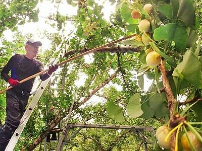 実る「黄金」 彩る秋 永平寺町でギンナン収穫始まる