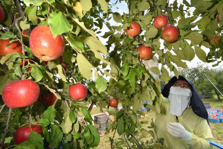 赤く色づいた「紅玉」を収穫するぽんど童スタッフ=16日午前11時40分、長野市津野