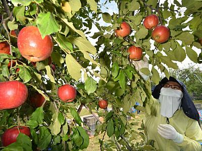 長沼リンゴ、立派に 被災した長野の畑で収穫