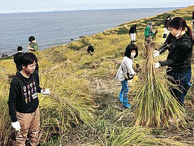 千枚田で200人稲刈り 輪島市内外からボランティア