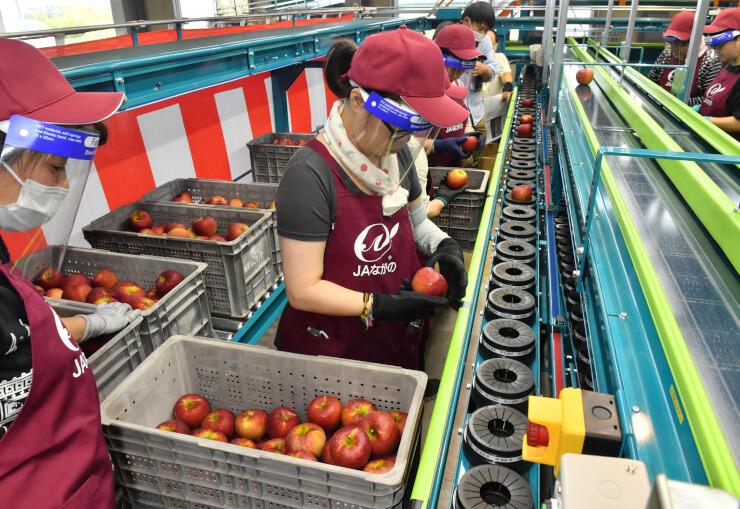 リンゴの色や傷などを確かめて選果する作業員たち=22日午前10時6分、長野市大町のながのフルーツセンター