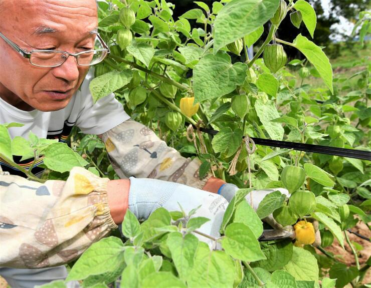 食用ホオズキを収穫する鈴木さん