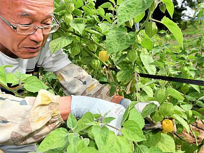 甘さ十分、食用ホオズキ 富士見の農園「もっとメジャーに」