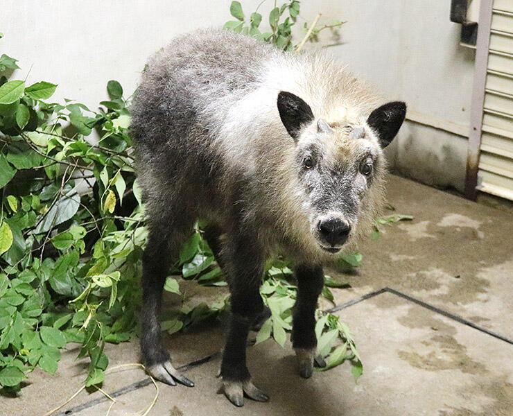 長野市茶臼山動物園から搬入された「リク」