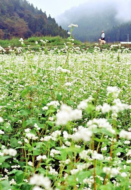 かれんな花が満開のソバ畑=9月30日、福井県福井市南宮地町