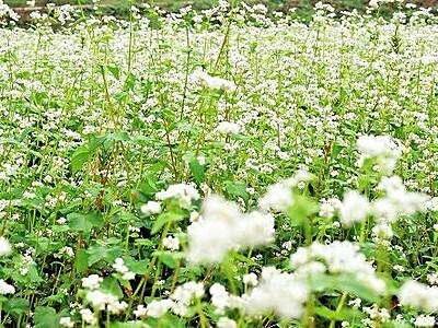 福井・美山の転作田でソバの花満開一面の白