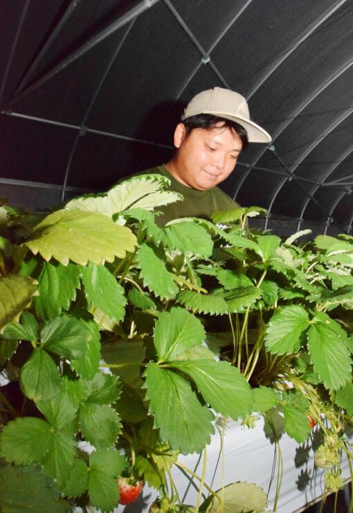 阿南町新野のハウスで夏イチゴを栽培する林さん