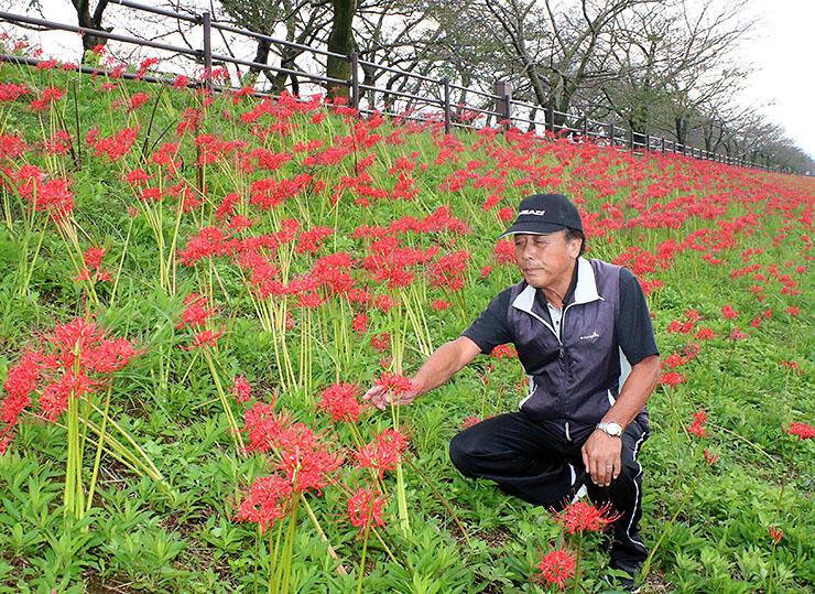 舟川の土手で咲き誇るヒガンバナ