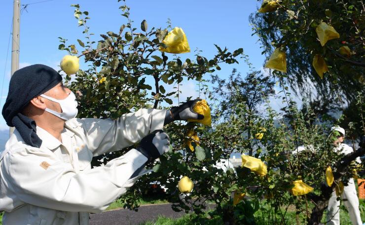 諏訪湖畔の「かりん並木」で行ったマルメロの収穫