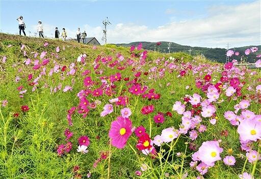 見頃を迎えたコスモス畑=10月13日、福井県福井市水越の足羽川河川敷