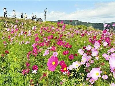 福井の住民育てたコスモス満開 色鮮やかに4500本