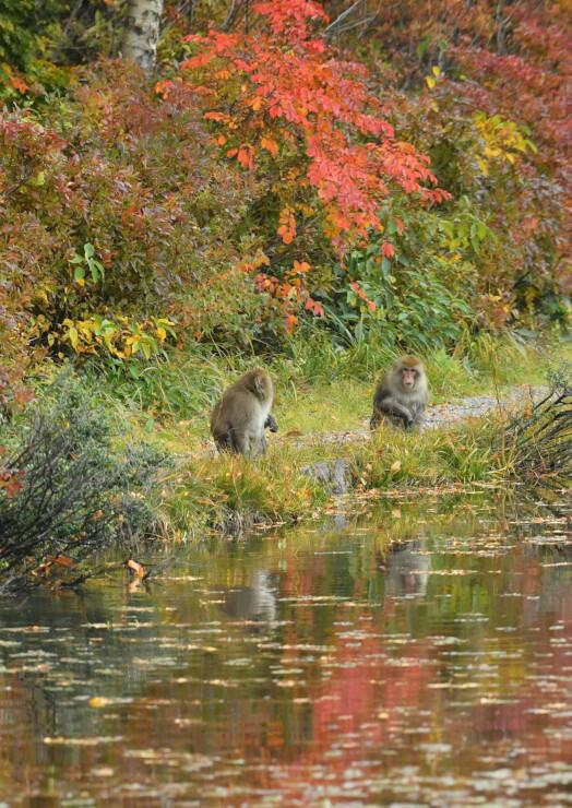 蓮池のほとりで紅葉狩りを楽しむように姿を見せたニホンザル=14日午後2時58分、山ノ内町