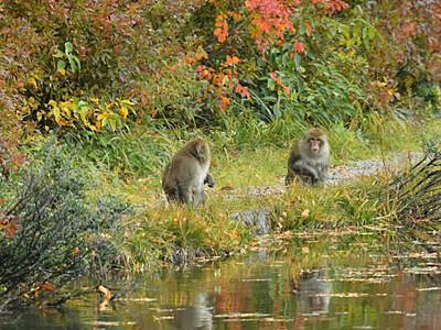 猿も見とれる? 志賀高原の紅葉