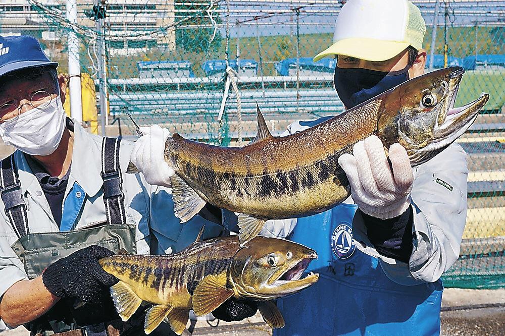 今年初めて遡上が確認されたサケ=白山市の県水産総合センター美川事業所