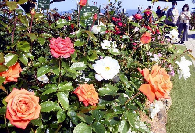 色鮮やかに咲き誇るバラ=10月20日、レインボーライン山頂公園