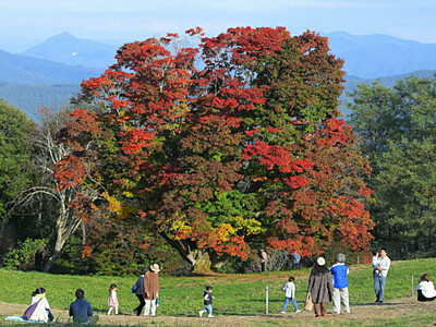 秋晴れ、映える「七色大カエデ」 池田・大峰高原