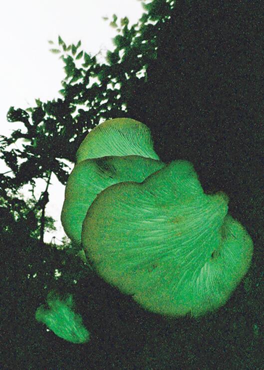 闇の中で光を放つツキヨタケ=21日、有峰湖周辺 (長時間露光、草東良平撮影)