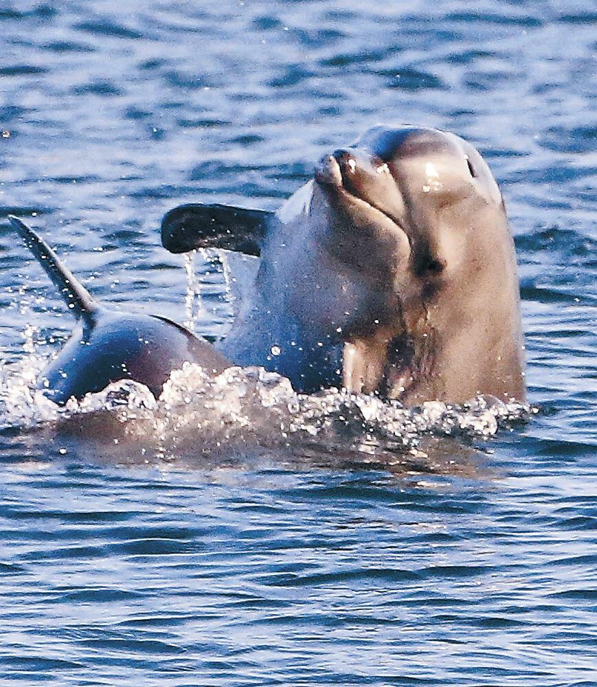 2頭で戯れるように泳ぐイルカ=金沢港