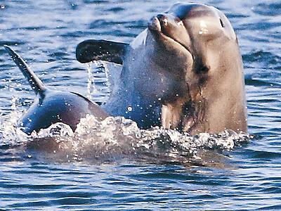 金沢港にイルカ2頭 優雅に戯れ、時折ジャンプ