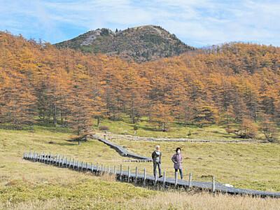 カラマツの紅葉、秋空に映え 東御・湯の丸高原