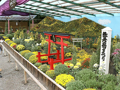 咲き誇る菊花に誘われ 弥彦神社「菊まつり」開催