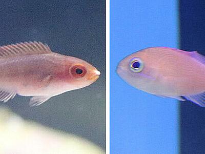 富山湾に珍客、南方の魚2種 魚津水族館が初確認
