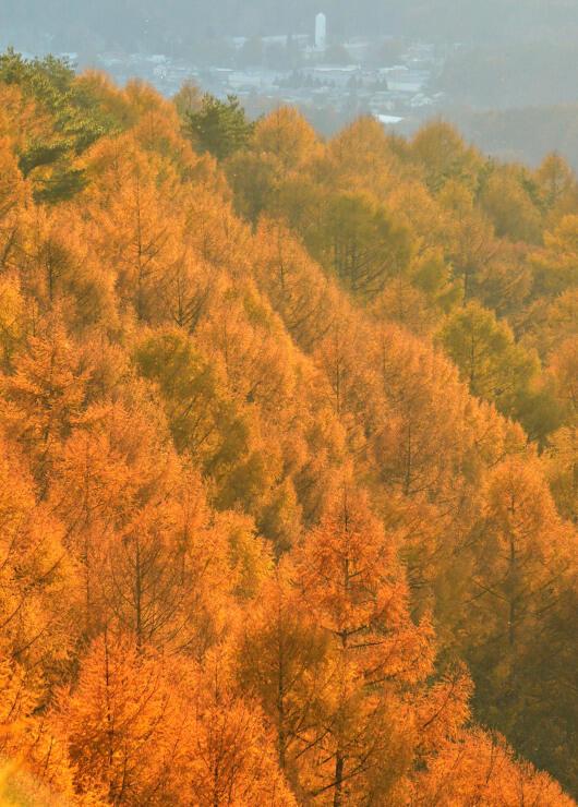富士見高原で進むカラマツの黄葉=8日