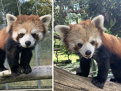双子レッサーパンダ「令和」引っ越し 富山市ファミリーパーク