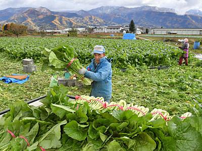 こたつに野沢菜、待ち遠しい 飯山で収穫作業