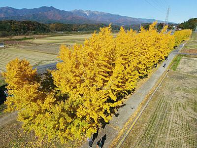 舞い落ちる秋 中川のイチョウ並木