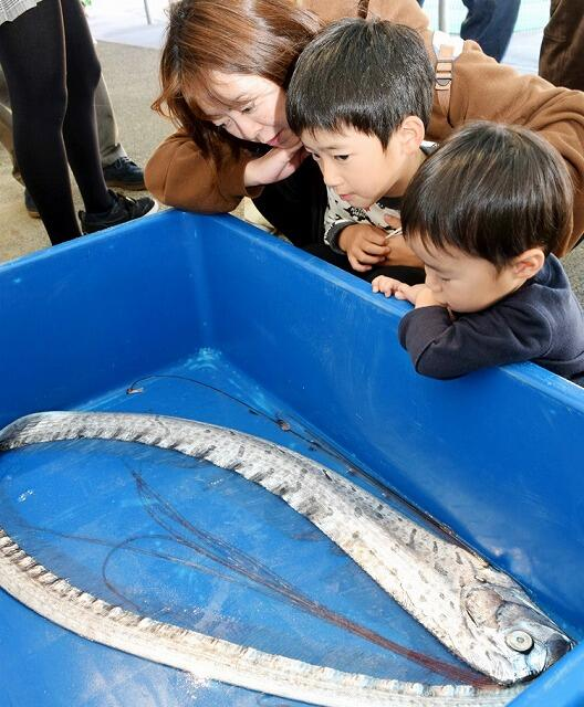 リュウグウノツカイを興味深く観察する家族連れ=11月14日、福井県坂井市の越前松島水族館