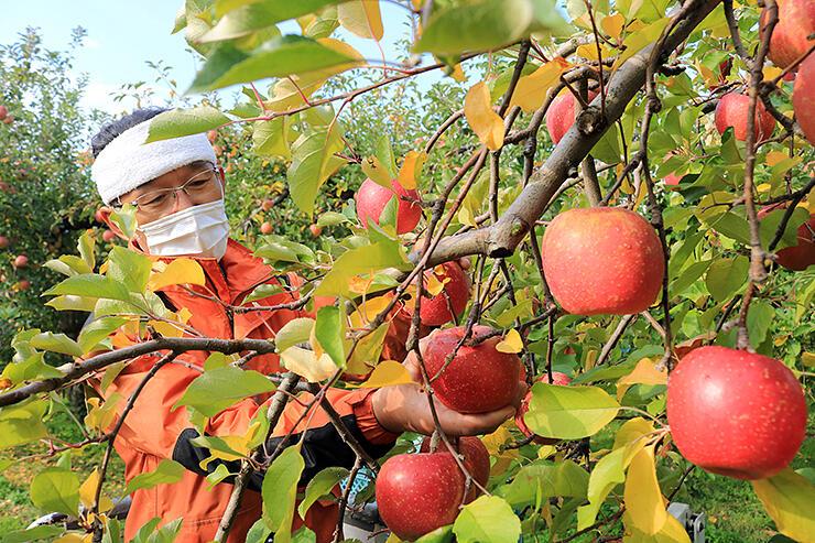 赤く色づいた「ふじ」を収穫する富居さん=魚津市吉島