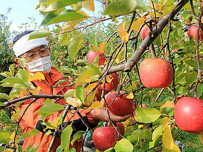 加積りんご甘く 魚津 台風ゼロで収量回復
