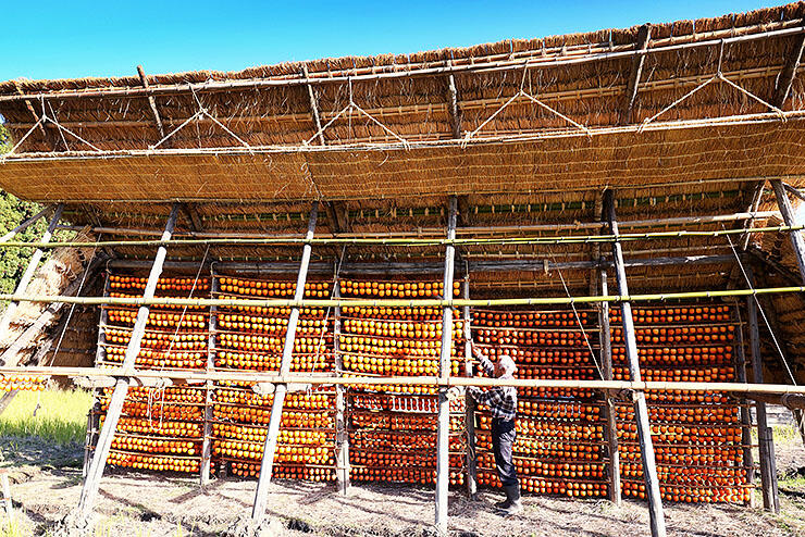 オレンジのすだれのように並ぶハサ干しの柿=南砺市土生新