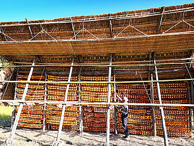 昔ながらのハサで干し柿作り 南砺・福光地域