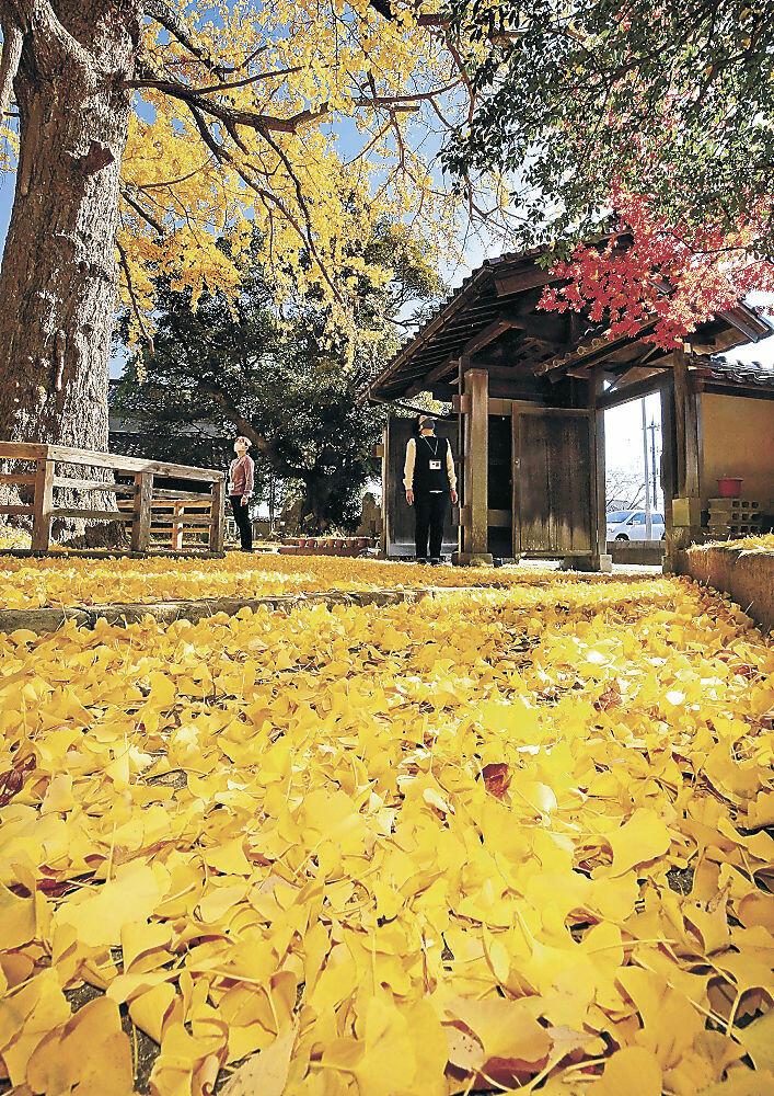 庭一面を黄色に染めたイチョウの葉=加賀市大聖寺番場町の市深田久弥山の文化館
