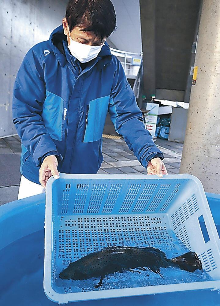 県内で初めて確認されたチャイロマルハタ=能登町の県海洋漁業科学館