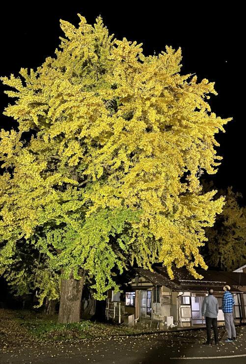 ライトアップされているイチョウの巨木=五泉市蛭野