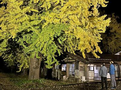 イチョウの名所 黄金に輝く 五泉・蛭野でライトアップ