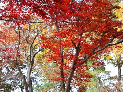 秋深し イロハカエデが 赤く燃え 長岡「もみじ園」