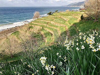 越前海岸の水仙畑、重文景観に 花の栽培地で全国初