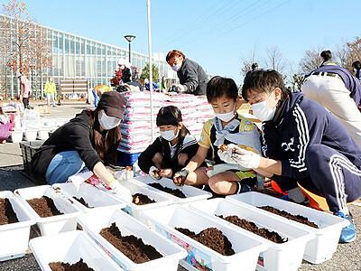 砺波市民がチューリップ球根4万2千個植え込み