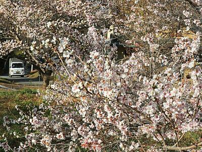 飯田、地域おこし花開く 「四季桜」見頃