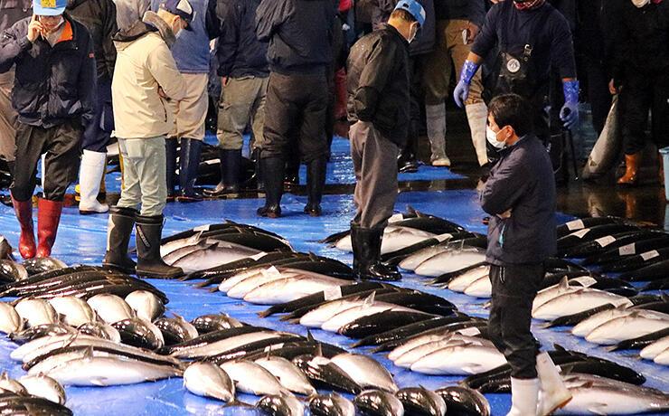 丸々とした「ひみ寒ぶり」を品定めする仲買人ら=11月30日午前6時50分ごろ、氷見魚市場