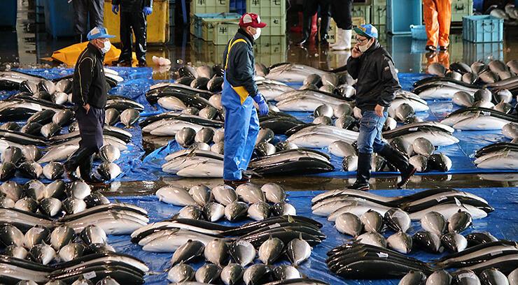 ブルーシートの上を埋め尽くした「ひみ寒ぶり」。丸々と太って形がいい=3日午前9時ごろ、氷見魚市場